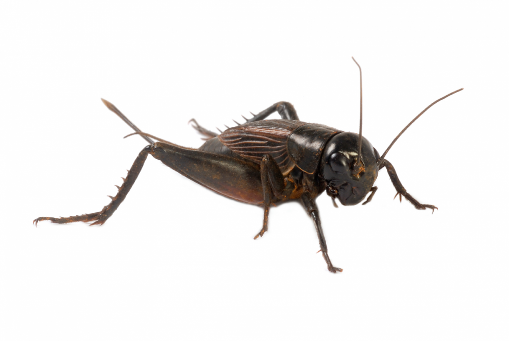 ter-insects-cricket_main_9280.thumb.png.21b458f51c3a563ce63e222b26f7b0d2.png